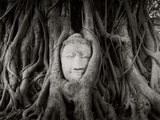 Buddha Head in the Roots of a Tree, Wat Mahathat, Ayutthaya Historical Park, Ayutthaya, Thailand Fotografie-Druck von  Panoramic Images
