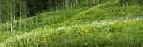 Aspen Trees and Wildflowers on Hillside, Crested Butte, Gunnison County, Colorado, USA Photographic Print by  Panoramic Images