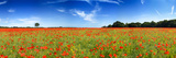 Poppies in a Field, Norfolk, England Photographic Print by  Panoramic Images