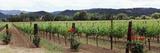 Vineyard, Napa Valley, California, USA Photographic Print by  Panoramic Images