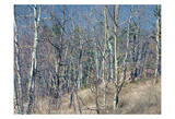 Pikes Peak Trees I Print by Joseph Charity