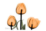 Tulips Orange Prints by Albert Koetsier