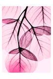 Pink Eucalyptus Print by Albert Koetsier