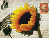 Carte Postale Sunflower Poster by Amy Melious