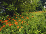 Day Lilies Growing Along Edge of Woods, Louisville, Kentucky, USA Fotografie-Druck von Adam Jones