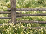 Wild Chamomile Growing around Log Fence Fotografie-Druck von Adam Jones