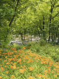 Day Lily Flowers Growing Along Little Pigeon River, Great Smoky Mountains National Park, Tennessee Photographic Print by Adam Jones
