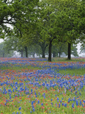 Texas Paintbrush and Bluebonnets Beneath Oak Trees, Texas Hill Country, Texas, USA Photographie par Adam Jones