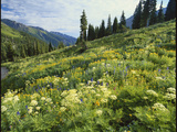 Cow Parsnip and Orange Sneezeweed Growing on Mountain Slope, Mount Sneffels Wilderness, Colorado Stampa fotografica di Adam Jones
