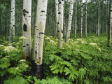 Cow Parsnip Growing in Aspen Grove, White River National Forest, Colorado, USA Photographic Print by Adam Jones
