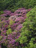 Catawba Rhododendron and Mountain Ash Growing in Forest Photographic Print by Adam Jones