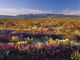 Flowers Growing on Desert Landscape, Sonoran Desert, Anza Borrego Desert State Park, California, US Photographic Print by Adam Jones