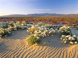 Flowers Growing on Dessert Landscape, Sonoran Desert, Anza Borrego Desert State Park, California Photographic Print by Adam Jones