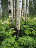 Quaking Aspen and Cow Parsnip, White River National Forest, Colorado, USA Photographic Print by Adam Jones