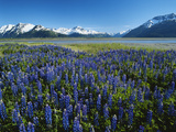 Lupine and Kenai Mountains, Kenai National Wildlife Refuge, Alaska, USA Photographic Print by Adam Jones