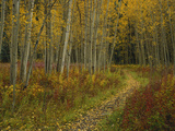 Footpath Through Autumn Aspen Trees, San Isabel National Forest, Colorado, USA Photographic Print by Adam Jones