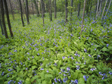 Virginia Bluebells Growing in Forest, Jessamine Creek Gorge, Kentucky, USA Photographic Print by Adam Jones