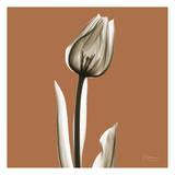 Squash Tulip Posters by Albert Koetsier