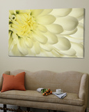 Close-Up of a White Chrysanthemum Flower Posters av Adam Jones