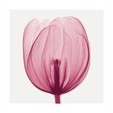 Tulips A (Positive) Giclée-tryk af Steven N. Meyers