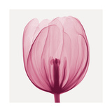 Tulips A (Positive) Giclee Print by Steven N. Meyers