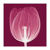 Tulips A (Negative) Giclee Print by Steven N. Meyers