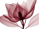 Steven N. Meyers - Red Magnolia Digitálně vytištěná reprodukce
