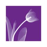 Tulip Giclee Print by Steven N. Meyers