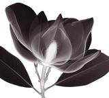 Steven N. Meyers - Magnolie (text vlatině aangličtině) Digitálně vytištěná reprodukce