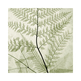 Ferns II Giclee Print by Steven N. Meyers