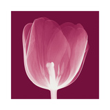 Tulips B (Negative) Giclee Print by Steven N. Meyers