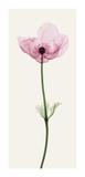 Anemone I Giclee Print by Steven N. Meyers