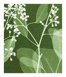 Eucalyptus Buds II Giclee Print by Steven N. Meyers