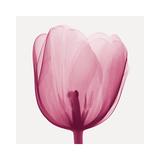 Tulips B (Positive) Gicléetryck av Steven N. Meyers