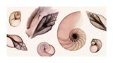 Shell Collection (Sepia) Reproduction procédé giclée par Steven N. Meyers