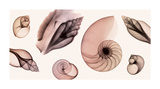 Shell Collection (Sepia) Giclee Print by Steven N. Meyers