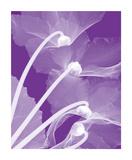 Cyclamen/White Giclee Print by Steven N. Meyers