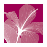 Hibiscus/White Stampa giclée di Steven N. Meyers