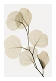 Steven N. Meyers - Eucalyptus Leaves Digitálně vytištěná reprodukce