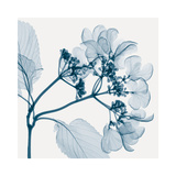Hydrangeas - Positive (Left) Giclee Print by Steven N. Meyers