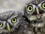 A Portrait of Two Little Owls, Athene Noctua Photographie par Kike Calvo