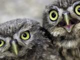 A Portrait of Two Little Owls, Athene Noctua Fotoprint van Kike Calvo