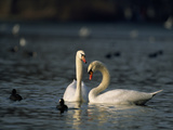 Mute Swans, Cygnus Olor, Swimming Among Coots Photographic Print by Norbert Rosing
