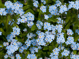 A Cluster of Forget Me Not Flowers, Myosotis Species, in Springtime Photographie par Darlyne A. Murawski
