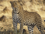 Portrait of a Leopard, Panthera Pardus Photographic Print by Norbert Rosing