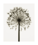 Allium Giclee Print by Steven N. Meyers