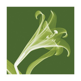 Lilies A (Negative) Giclee Print by Steven N. Meyers