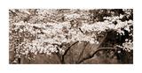 Cherry Blossoms (Sepia) Giclée-tryk af Steven N. Meyers
