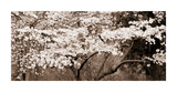 Cherry Blossoms (Sepia) Giclee Print by Steven N. Meyers