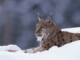 A Captive Eurasian Lynx, Lynx Lynx, Lying in Snow Photographic Print by Norbert Rosing
